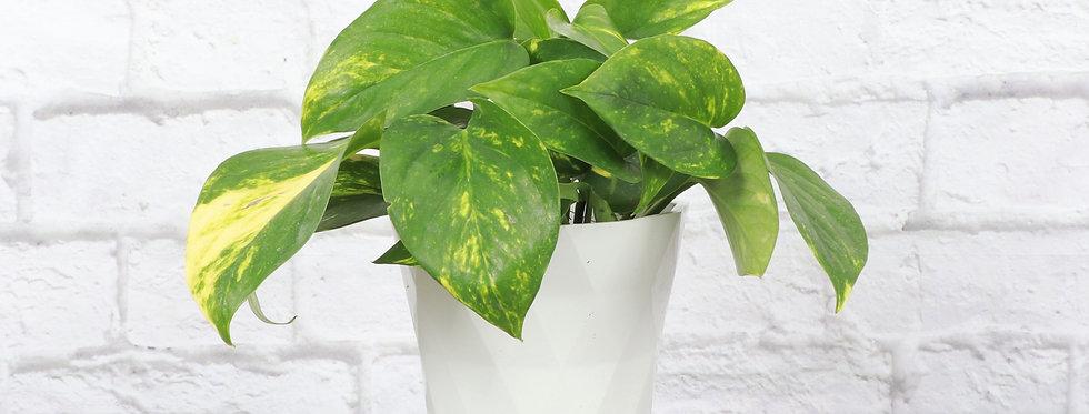 Golden Pothos, Devil's Ivy Plant in Modern White Planter