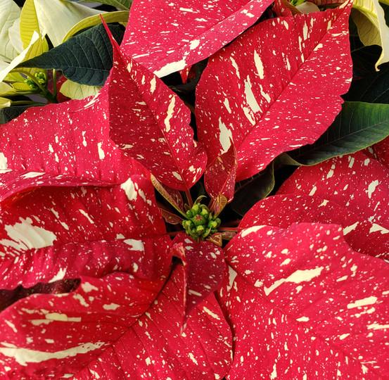 Red Glitter Poinsettia