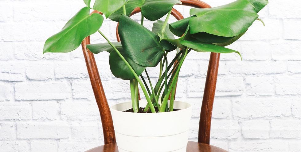 Monstera Deliciosa, Split-leaf Philodendron in Contemporary Pot
