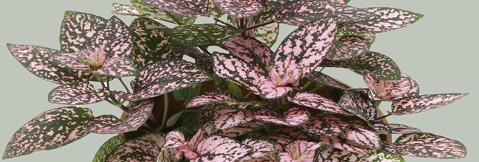 Hypoestes Phyllostachya, Pink Splash Plant