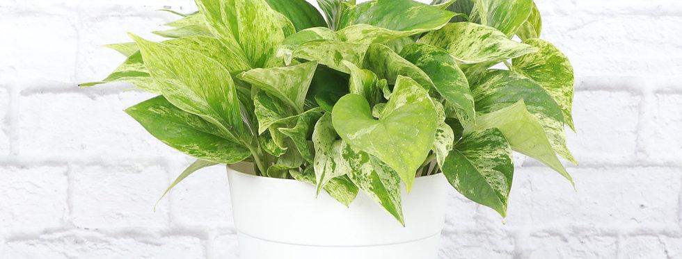 Marble Queen Pothos, Devil's Ivy Plant in Contemporary Pot