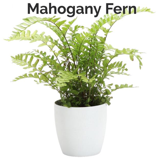 Mahogany Fern