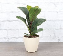 Fiddle leaf fig plant in a natural colored pot