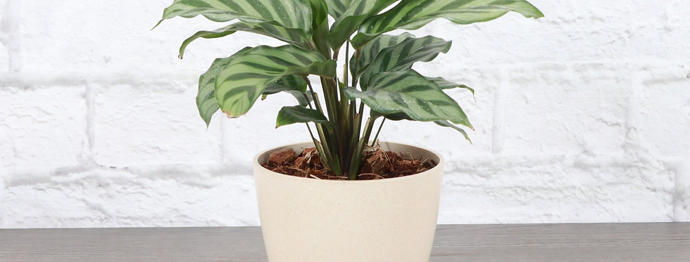 Calathea Concinna, Freddie Calathea Plant in Eco Pot
