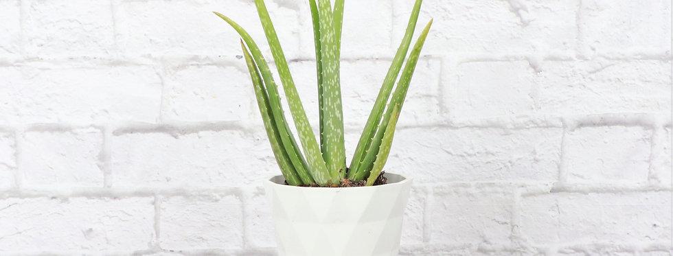 Aloe Barbadensis Miller, Aloe Vera in Modern White Planter