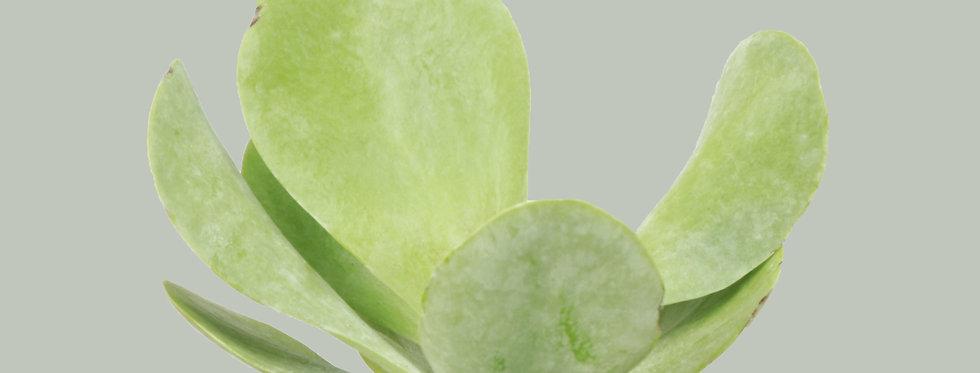 Kalanchoe Thyrsiflora, Flapjack Plant