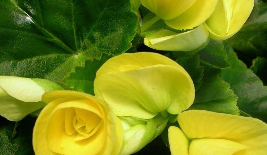 Yellow Reiger Begonia