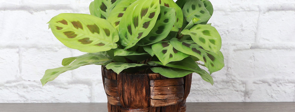 Maranta Leuconeura, Green Prayer Plant in Banana Leaf Basket