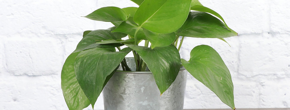 Epipremnum Aureum, Jade Pothos in Galvanized Steel Pot