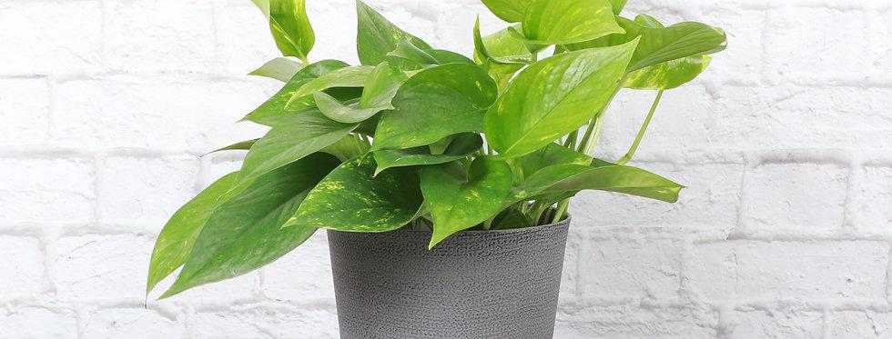 Golden Pothos, Devil's Ivy Plant in Classic Gray Pot