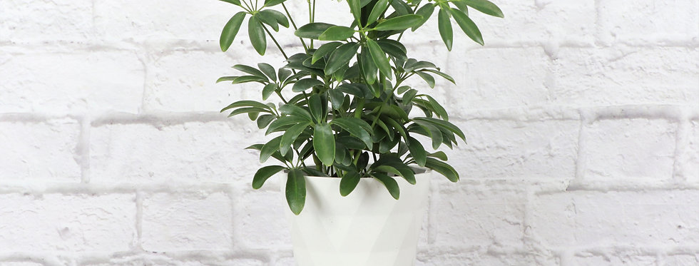 Schefflera Arboricola, Umbrella Tree in Modern White Planter