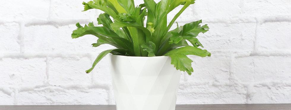 Asplenium Antiquum, Crested Bird's Nest Fern 'Leslie' in Modern White Planter