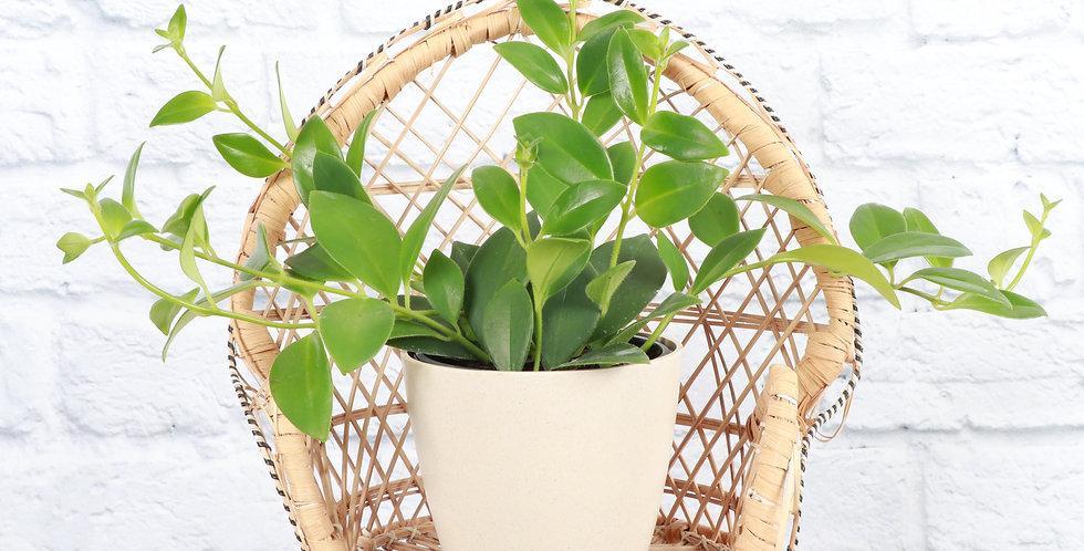 Aeschynanthus Pulcher, Lipstick Plant in Eco Pot