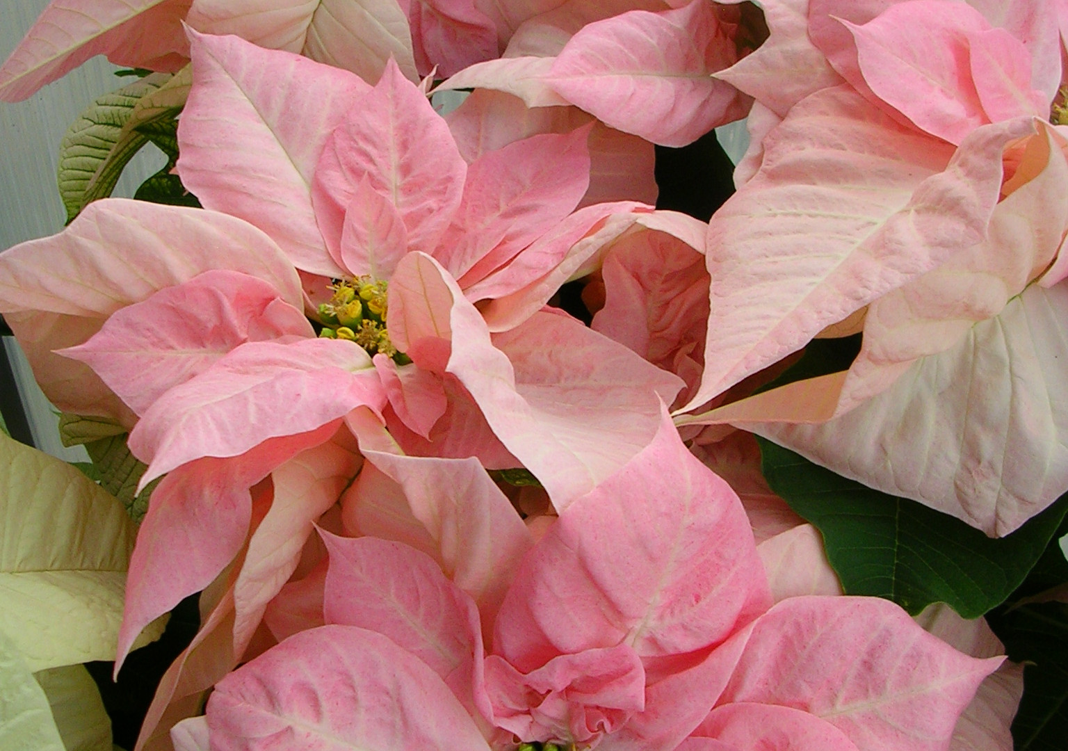 Visions of Grandeur Poinsettia