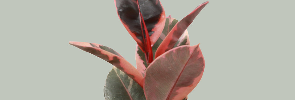 Ficus Elastica, Ruby Rubber Plant