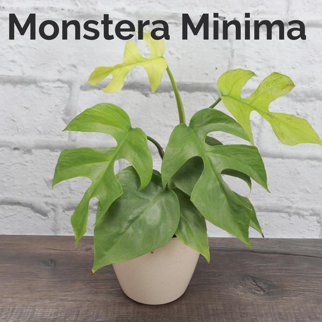 Monstera Minima