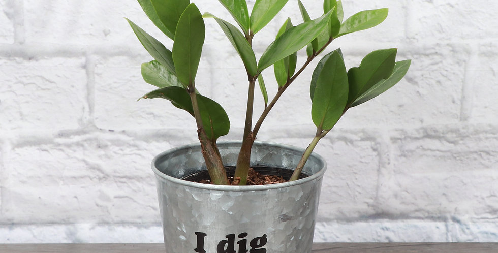 """Zamioculcas Zamiifolia, ZZ Plant """"I Dig You"""""""