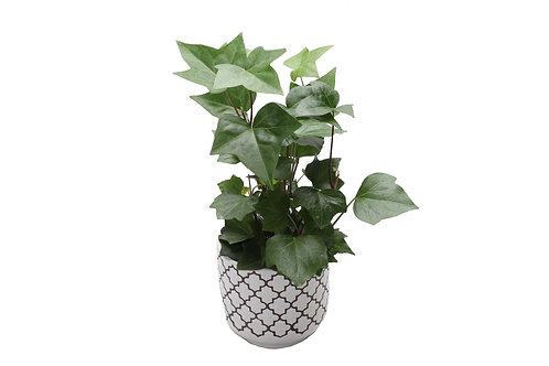 Algerian Ivy, Quartrefoil Pot