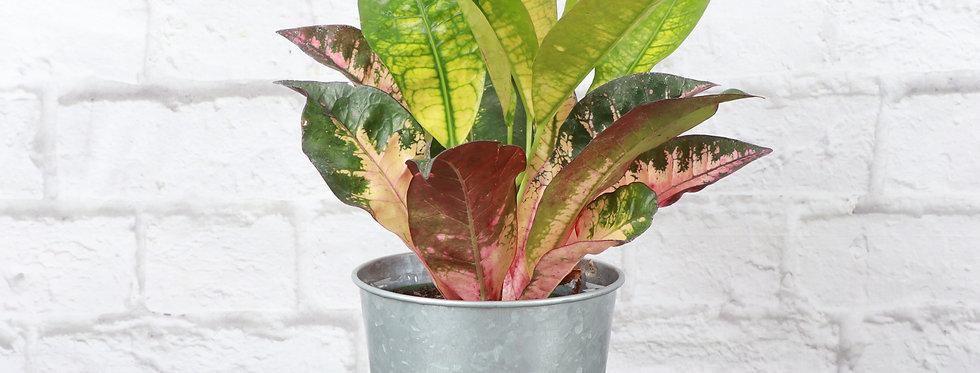 Codiaeum Variegatum, Iceton Croton Plant in Galvanized Steel Pot