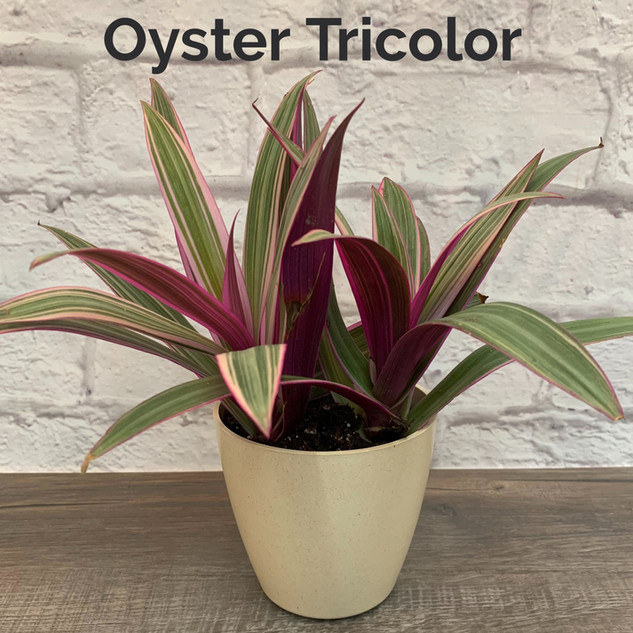 Oyster Tricolor