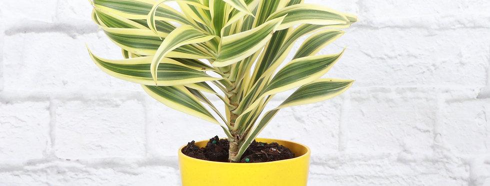 Dracaena Reflexa, Song of India Plant in Eco Pot