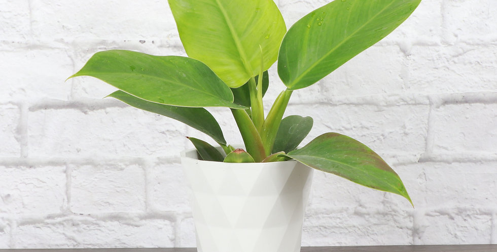 Philodendron Erubescens, Imperial Green Philodendron in Modern White Planter