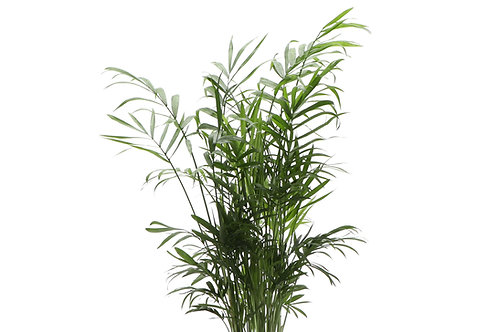 Neantha Bella Palm, Small