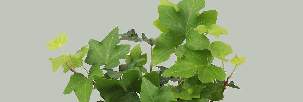 Hedera Helix, Green English Ivy