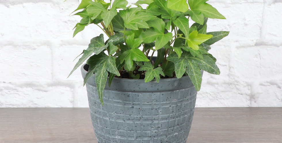 Hedera Helix, Green English Ivy in Rustic Planter