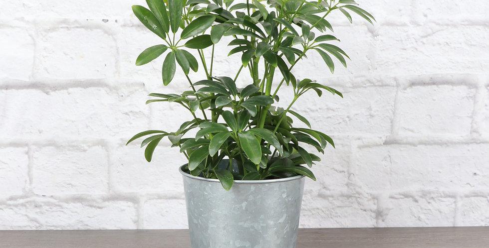 Schefflera Arboricola, Umbrella Tree in Galvanized Steel Pot
