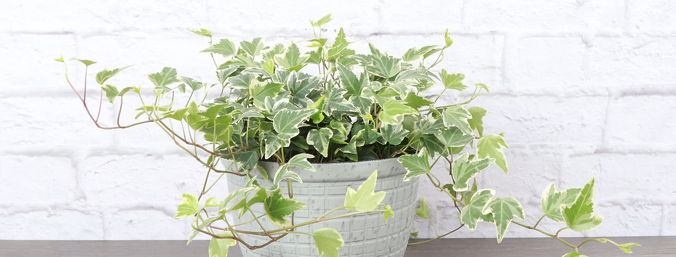 Hedera Helix 'Variegata', Variegated English Ivy in Large Rustic Planter