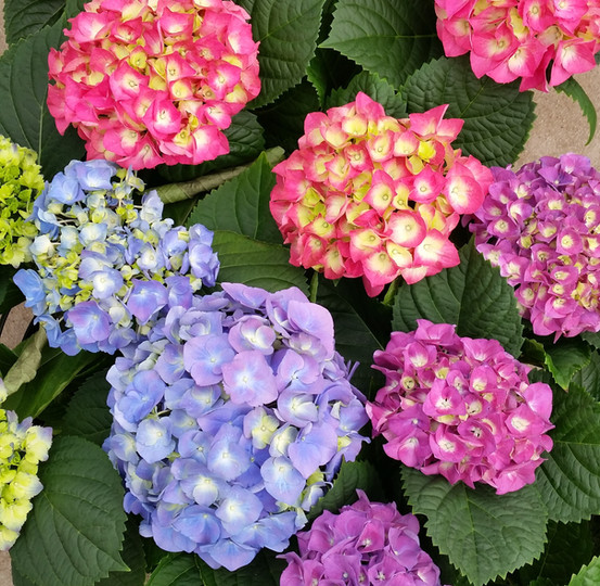 Pink, Blue and Lavender Hydrangea