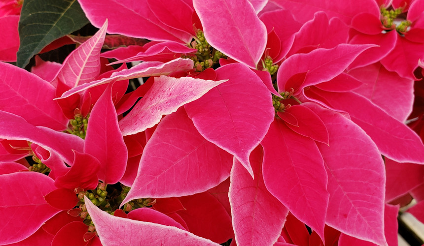 Luv U Pink Poinsettia