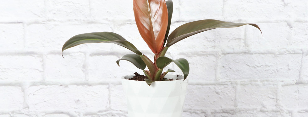 Philodendron Erubescens, Imperial Red Philodendron in Modern White Planter
