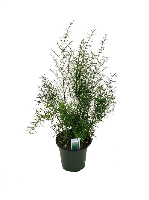 "4.5"" Asparagus Fern"