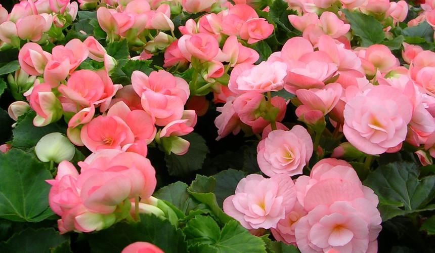 Pink Reiger Begonia
