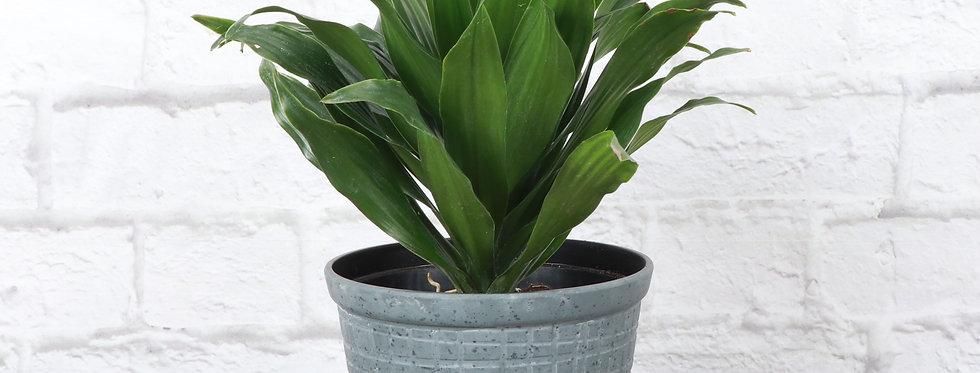 Dracaena Fragrans, Janet Craig Compacta in Rustic Planter