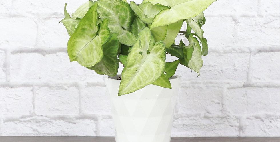 Syngonium Podophyllum, Butterfly Plant in Modern White Planter