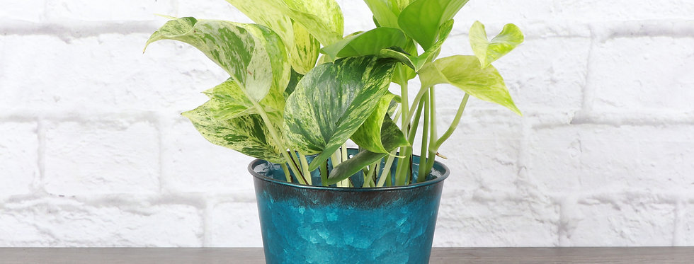 Marble Queen Pothos, Devil's Ivy Plant in Bright Blue Metal Pot