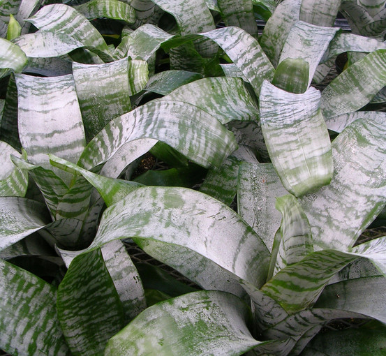 Bromeliad Fasciata