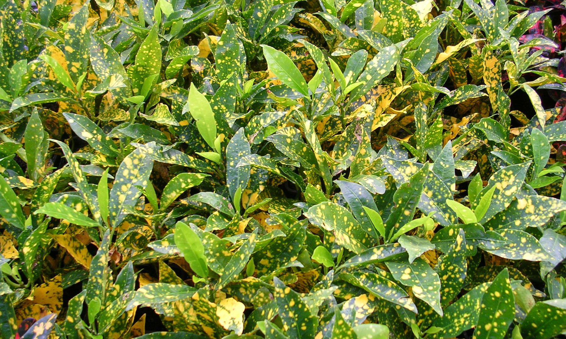 Gold Dust Croton
