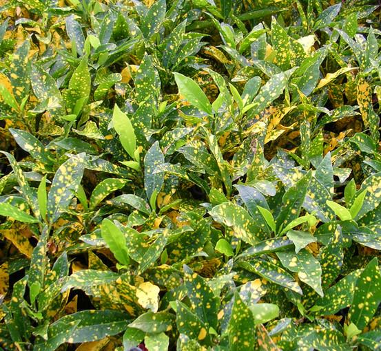 Gold Dust Croton