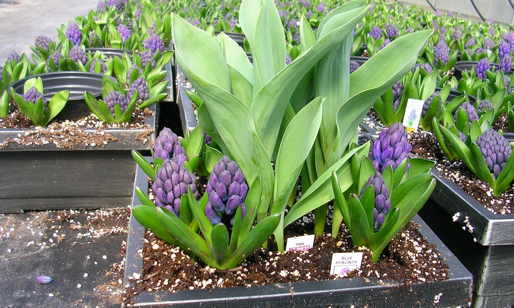 Tulip & Hyacinth Bulb Garden
