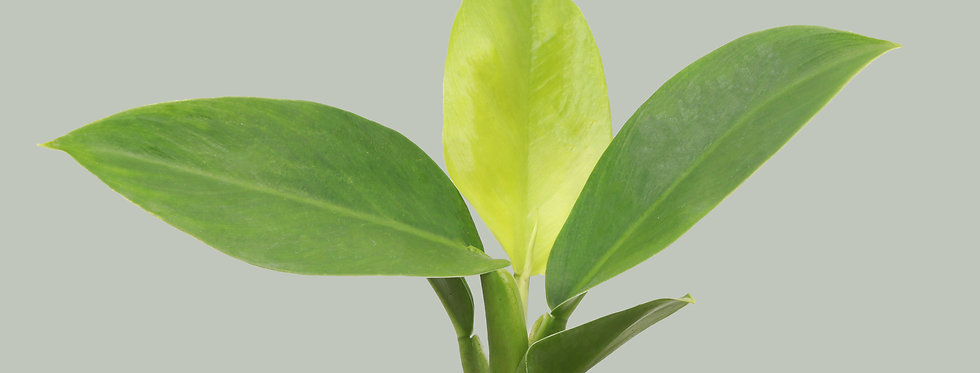 Philodendron Erubescens, Imperial Green Philodendron