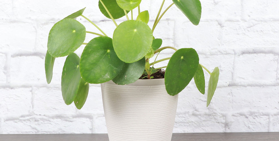 Pilea Peperomioides, Chinese Money Plant in Farmhouse Planter
