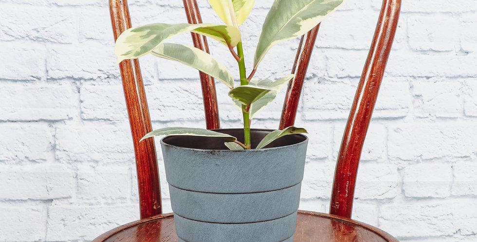 Ficus Elastica, Tineke Rubber Plant in Contemporary Pot