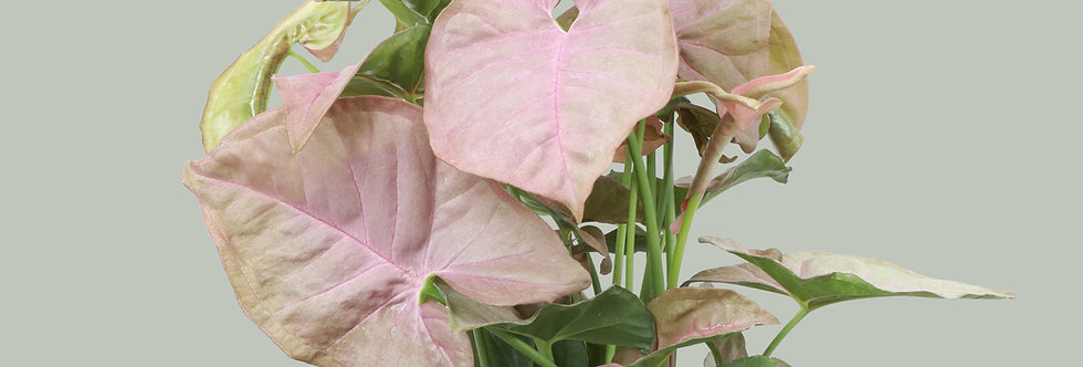 Syngonium podophyllum 'Pink Allusion', Butterfly Plant