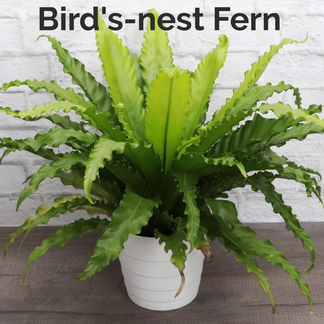 Birdnest Fern