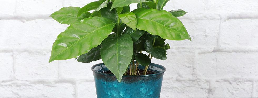 Coffea Arabica, Coffee Plant in Bright Blue Metal Pot
