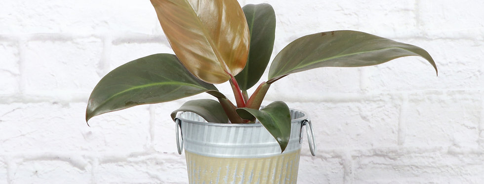 Imperial Red Philodendron, Green Stripe Fall Pot